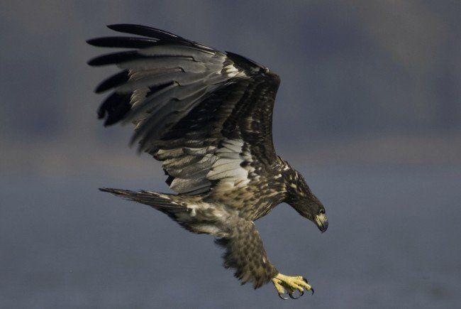 Der Seeadler kann bereits wieder fliegen.