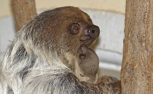 Das neu geborene Faultier-Baby im Tiergarten Schönbrunn
