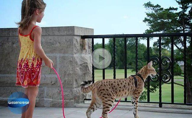 Kein fauler Stubentiger: Leopardkatzen sind wilde Zeitgenossen