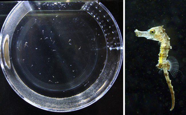 In einem Trommelaquarium im Haus des Meeres tummeln sich die Seepferdchen