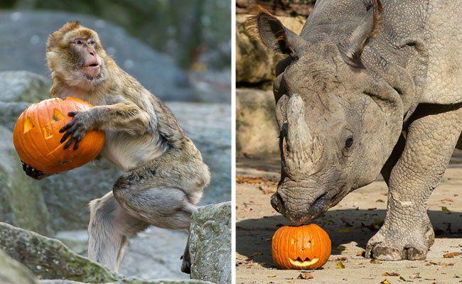 Halloween ist auch für die Tiere in Schönbrunn ein Grund zum Feiern