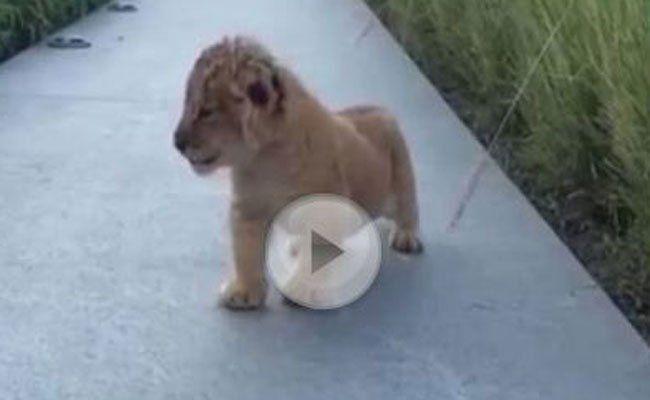 Das kleine Löwenbaby übt schon fleißig.