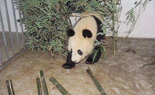 Fu Bao ist in China angekommen - wo ihm der Bambus schon schmeckt