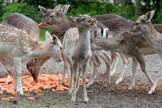 Die Jägerschaft spricht sich gegen Geburtenkontrolle mit Präparaten im Lainzer Tiergarten aus.
