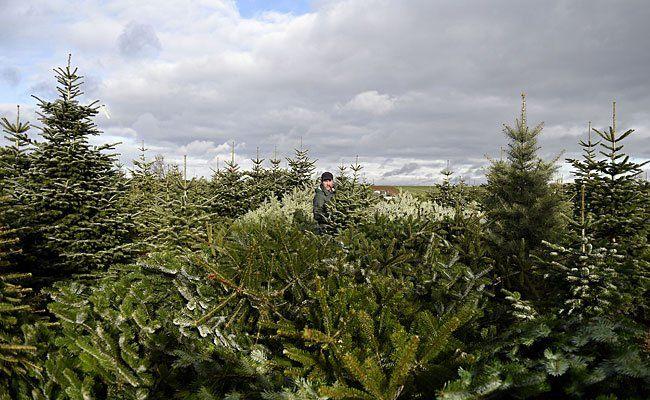 """""""die umweltberatung"""" hat Einkaufsadressen für Bio-Christbäume"""