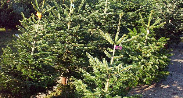 Auch das Christkind muss sich beim Christbaum-Transport an Vorschriften halten.