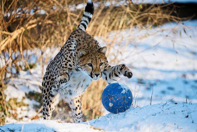 Geparden vergnügen sich beim Schnee-Ballspiel in Schönbrunn