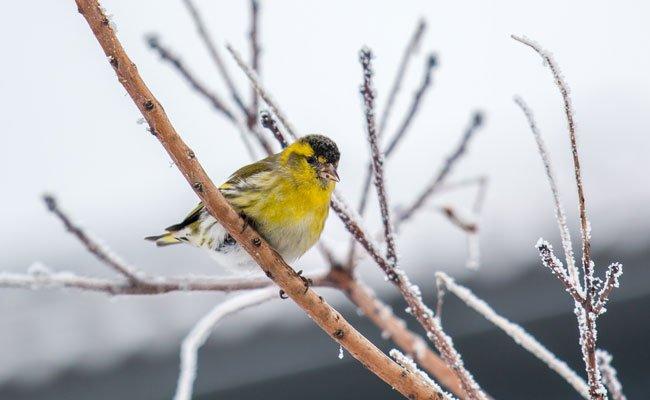 Erlenzeisig sorgt für Überraschung bei der Vogelzählung