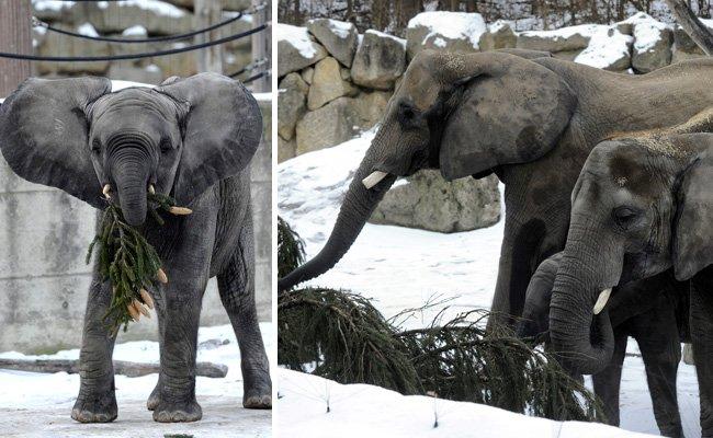 Die Elefanten freuten sich über das grüne Festmahl.