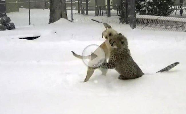 Dieser Gepard und der Labrador sind Freunde fürs Leben.