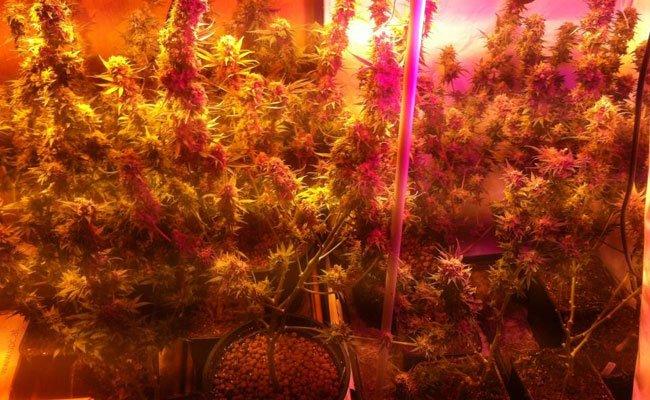 Wien-Donaustadt: Cannabis-Pflanzen in Wohnung sichergestellt