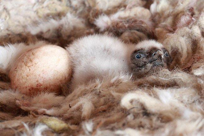 Der 150. Bartgeier, der vor wenigen Tagen in der Eulen- und Greifvogelstation (EGS) in Haringsee zur Welt gekommen ist