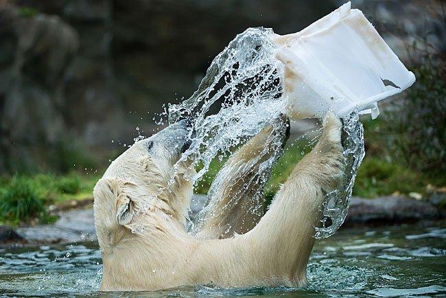 Eisbärenweibchen Lynn beim Spielen