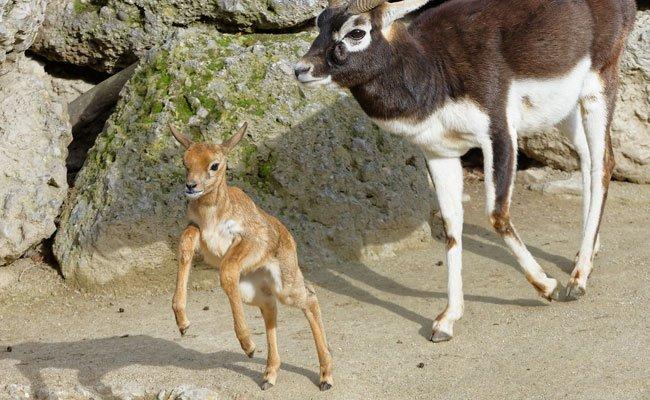 Die kleine Hirschziegenantilope springt vergnügt im Gehege herum.