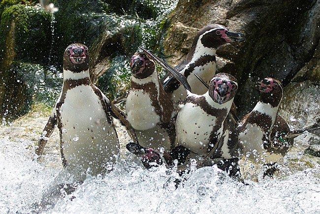 Vergnügt in Schönbrunn: Humboldtpinguine