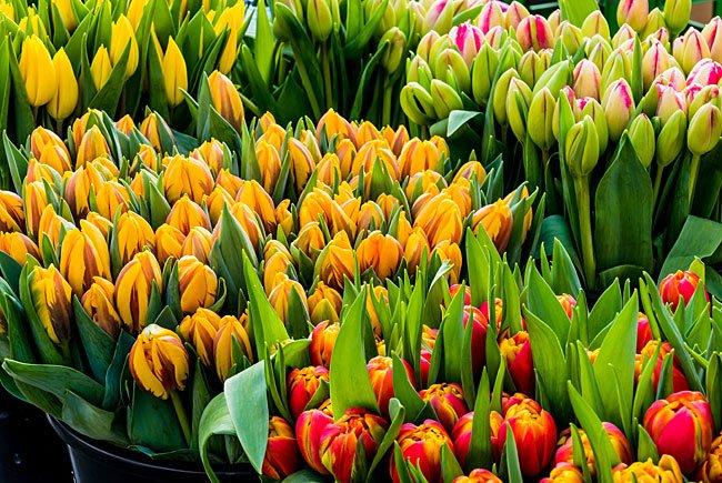 Herrliche Tulpen in leuchtenden Farben - mit diesen Blumen liegt man heuer zum Valentinstag goldrichtig