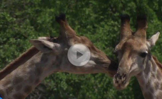 Giraffen kommunizieren über Infraschall.