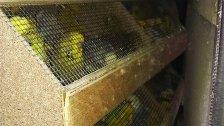 Pkw in Penzing mit 1.200 Ziervögeln gestoppt
