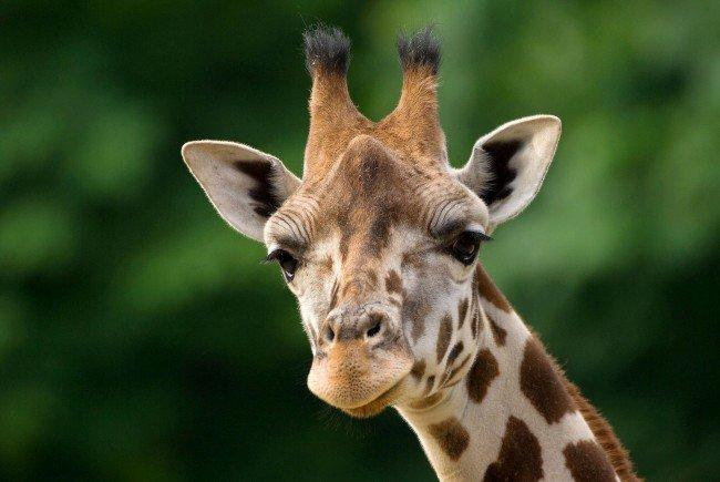Giraffen-Übersiedelung von Wien nach Neapel.