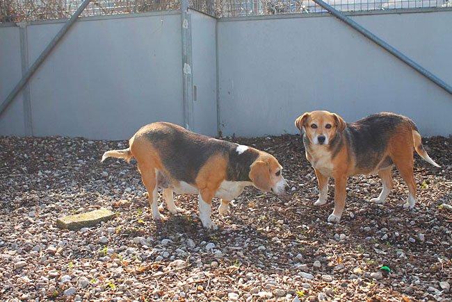 Diese beiden Beagle-Damen wurden erst einmal auf Diät gesetzt - wer vermisst sie?