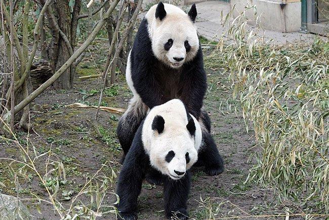 Frühlingshaft Liebe gemacht wurde bei den Schönbrunner Pandas