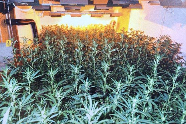 Eine umfangreiche Cannabis-Plantage wurde entdeckt