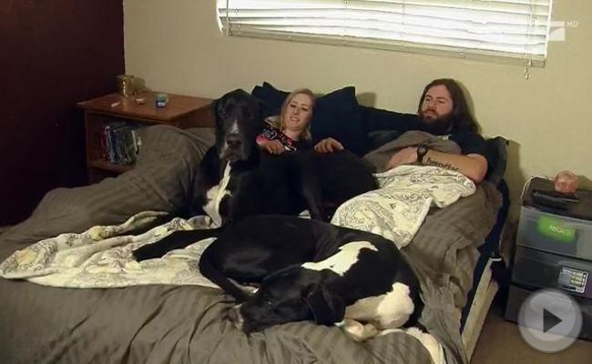 Mit dem größten Hund der Welt reicht das Doppelbett kaum aus.
