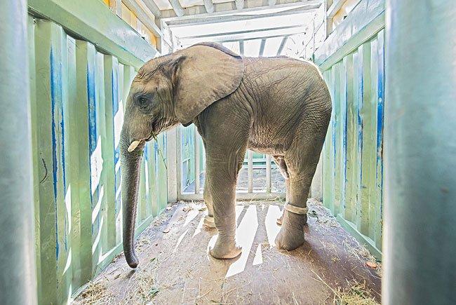 Elefant Tuluba stand in Schönbrunn bereit zum Transport