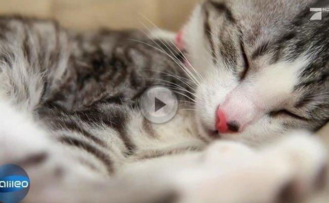 Katzen sind die wohl größten Schlafmützen des Tierreichs.