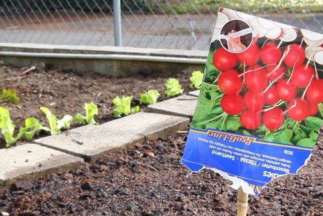 Radieschen aus dem eigenen Garten im VOL.AT-Gartentipp