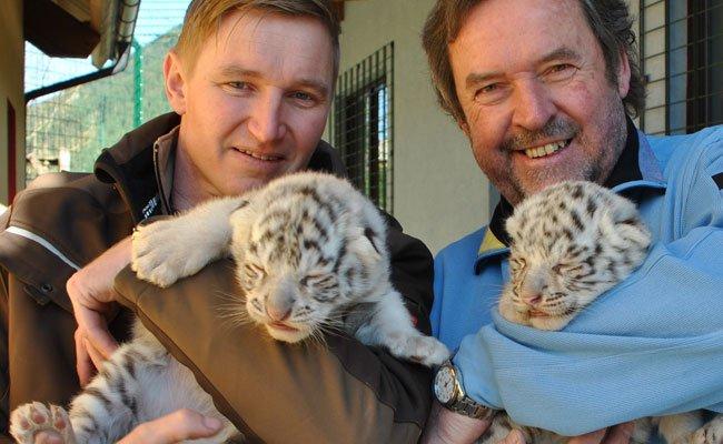Die süßen weißen Tiger-Zwillinge sind erst ein paar Tage alt.