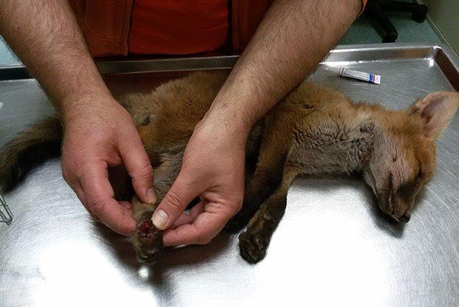 Der kleine Fuchs brauchte eine OP