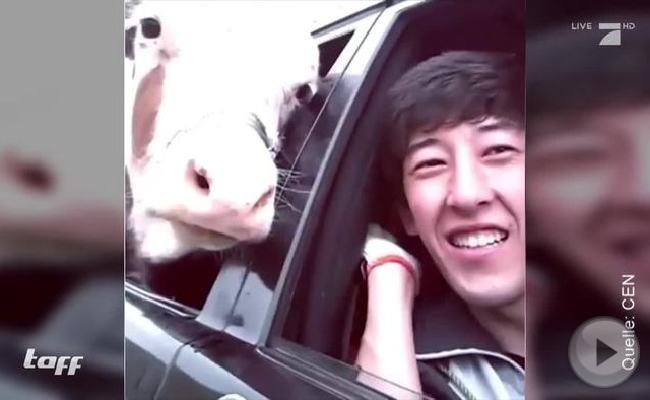 Dieser Mann holte seine Kuh per Auto vom Markt ab.