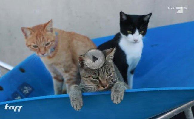 Auf der Insel Aoshima leben hunderte Katzen.