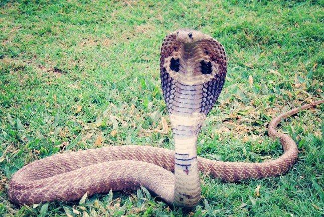 Bei der entkommenen Schlange könnte es sich um eine Kobra handeln.