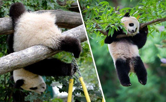 Pandabären sind bekannt für ihre süße Tollpatschigkeit.