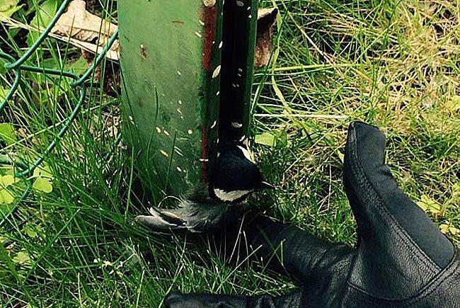 Der Vogel steckte in einem Zaunsteher fest und konnte sich nicht befreien