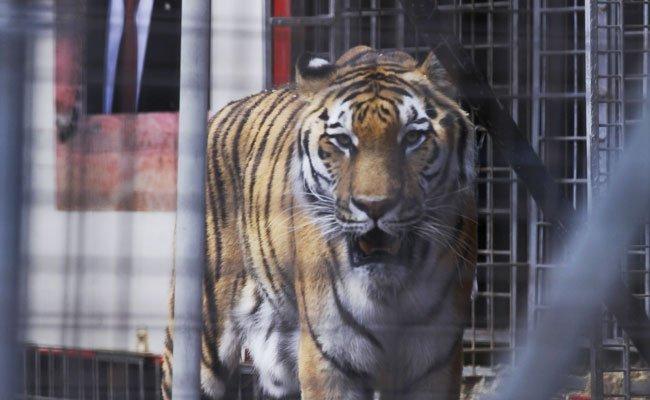 Die syrische Schauspielerin May Kaf droht damit, sich von Tigern fressen zu lassen.