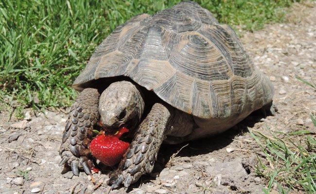 Diese Schildkröten-Dame soll als allwissendes Orakel ihren Tipp zu den EM-Spielen abgeben.
