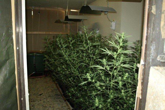 Der Mann züchtete indoor die Pflanzen.