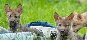 Zuwachs im Wolfsforschungszentrum Ernstbrunn: Drei weitere Wolfswelpen