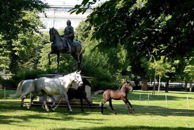 Lipizzaner-Fohlen erneut auf Urlaub im Wiener Burggarten.