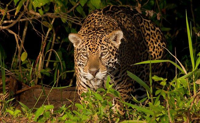Auf den Spuren der wilden Natur Brasiliens.