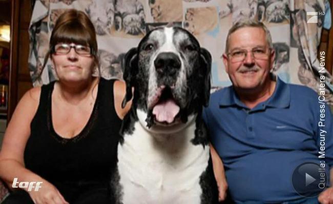 Zwei Meter misst der größte Hund der Welt.