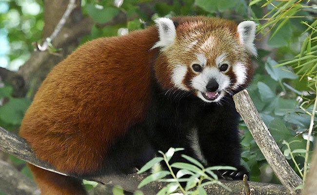 Das Rote Panda-Weibchen Mahalia im Tiergarten Schönbrunn