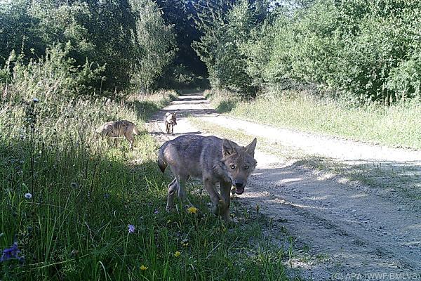 Diese Wildtierkamera am TÜPL Allentsteig lieferte den Fotobeweis
