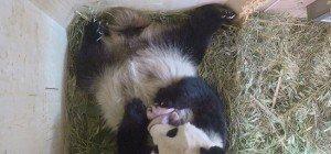 Überraschung im Tiergarten Schönbrunn: Panda-Zwillinge geboren