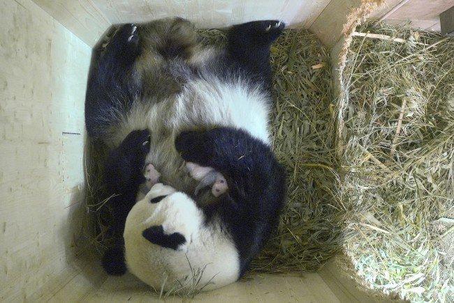 Die kleinen Pandababys im Tiergarten Schönbrunn bekommen bereits Fell.