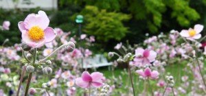Die Anemone im VOL.AT-Gartentipp