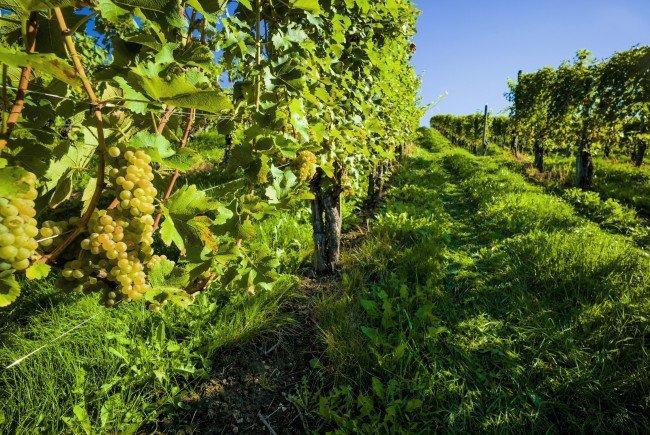 Die Weinwandertage finden Anfang Oktober in Wien statt.